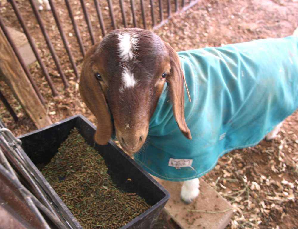 A+goat+has+a+snack+in+the+FFA+barn.+Students+wake+up+early+to+feed%2C+train+and+groom+their+animals+for+competition.